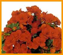 begonia-Elatior.jpg