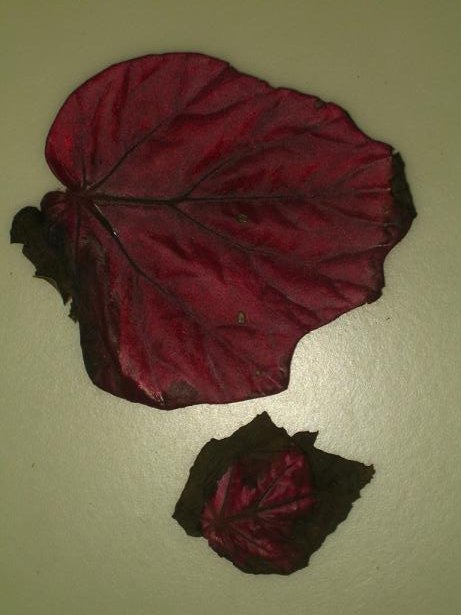 begonia inca fire.JPG