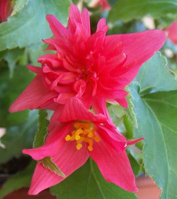 Begonia-pendula.jpg