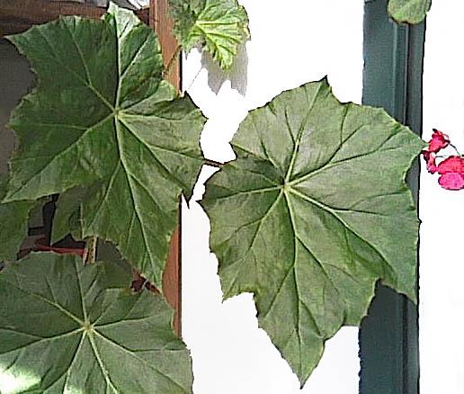 Begonia_01.jpg