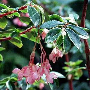 Begonia_foliosa.jpg