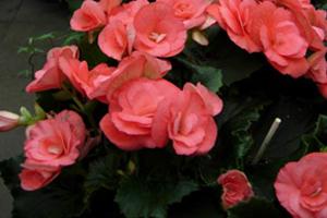 begoniaflor4.jpg