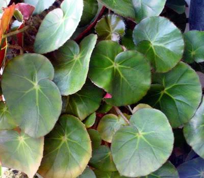 Begoniahydrocotylifolia.jpg