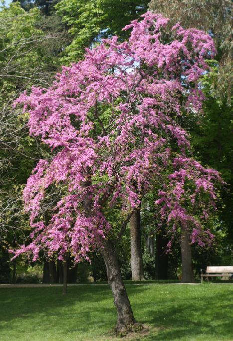 Rbol caduco d buena sombra en verano no ensucie for Arboles de crecimiento rapido para sombra