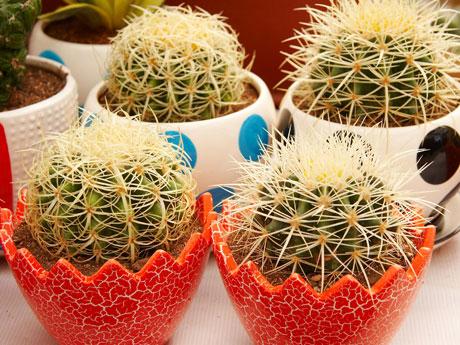 bien-verde-como-cultivar-transplantar-cactus-460x345-la.jpg