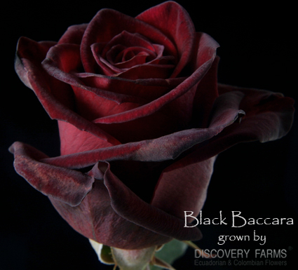 Black_Baccara.jpg