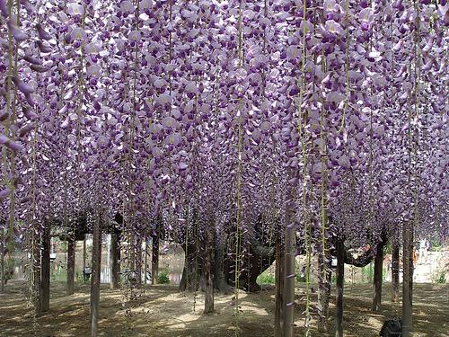 blackdragon-wisteria.jpg