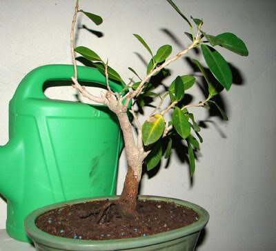 bonsai-1.jpg