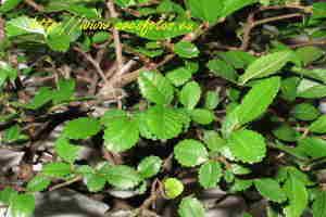 bonsai-zelkova-parvifolia-1.jpg