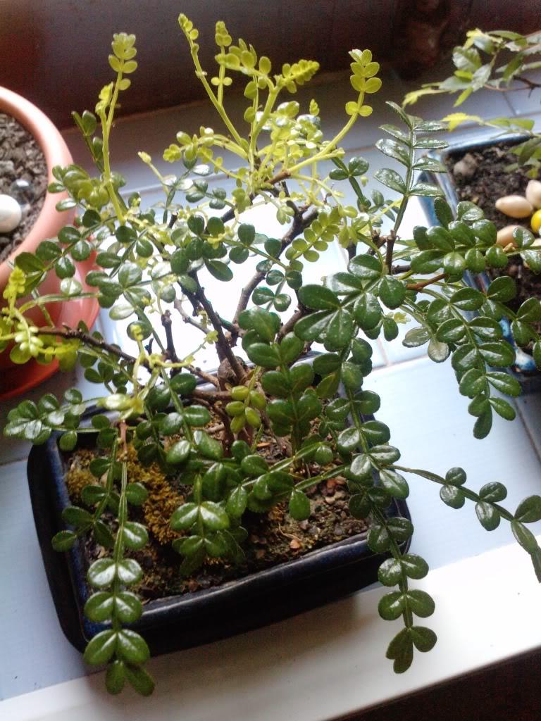 bonsai22-1.jpg