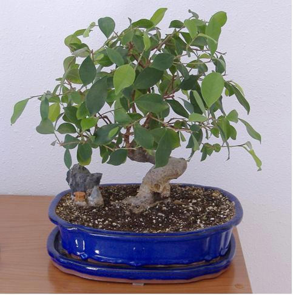 bonsai_2%7E0.jpg
