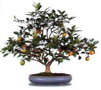 bonsai_naranjo.jpg