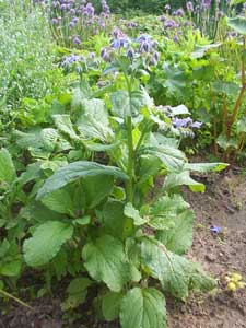 borago-officinalis-borraja.jpg
