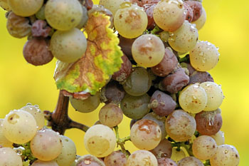 Botrytis_on_Riesling_grapes.jpg
