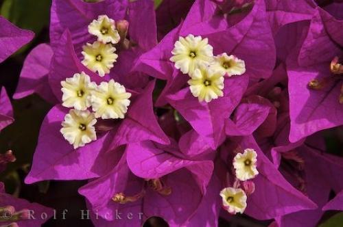 bougainvillea-plant_11089.jpg