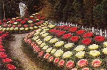 brassica-oleracea-2.jpg
