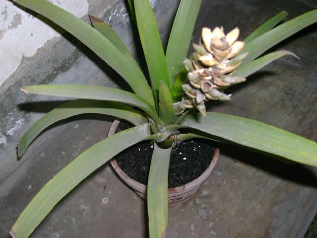 bromelia1.JPG