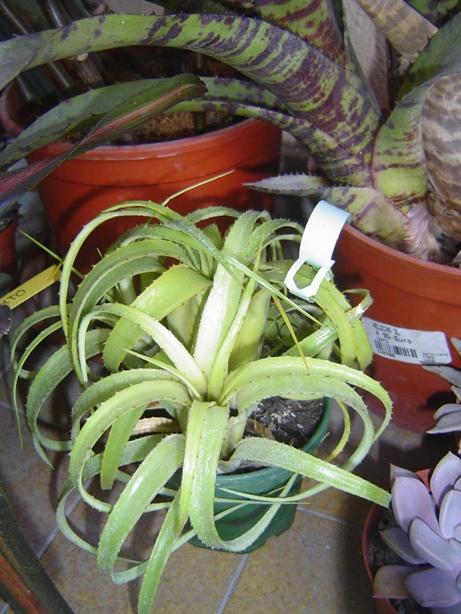 bromelias22-12-2012004_zps85ff508b.jpg