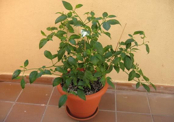 brownrocotoplant.jpg