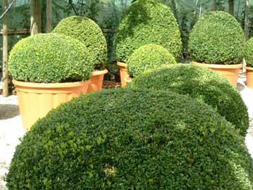 buxus-sempervirens-topiaria.jpg
