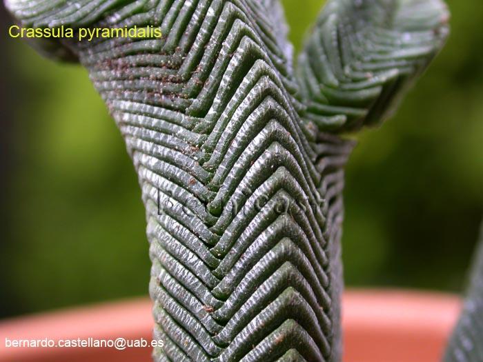C.pyramidalis1.jpg