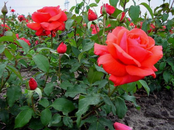 Rosales m s olorosos - Rosales trepadores perfumados ...