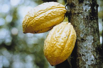 CacaoChuaoelmejordelmundo_01.jpg