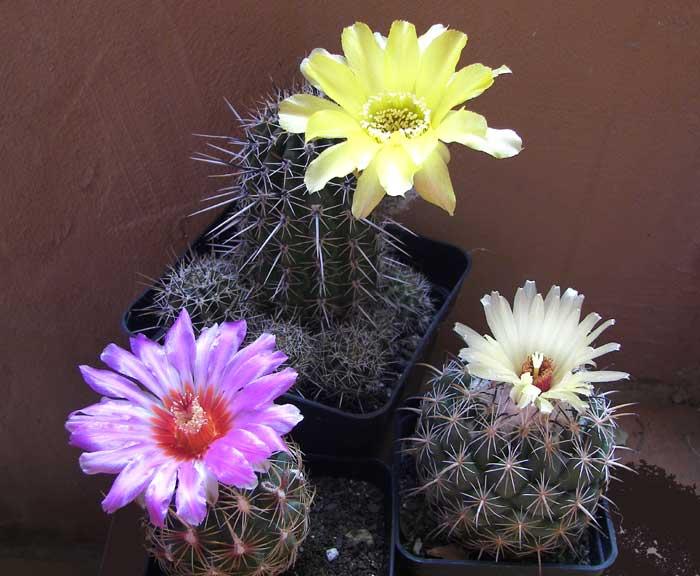 cactusflores1.jpg