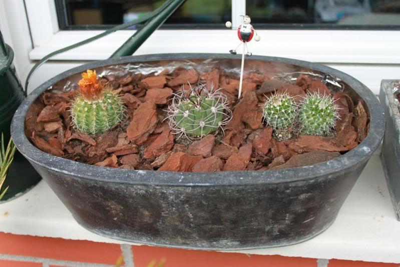 cactusmaceta1.jpg