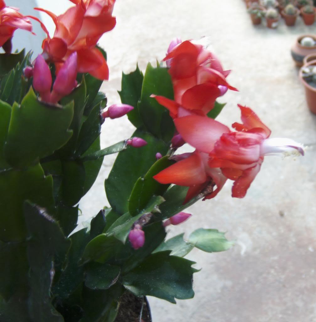 cactusnavidadflores20132_zpsb3a2a1df.jpg