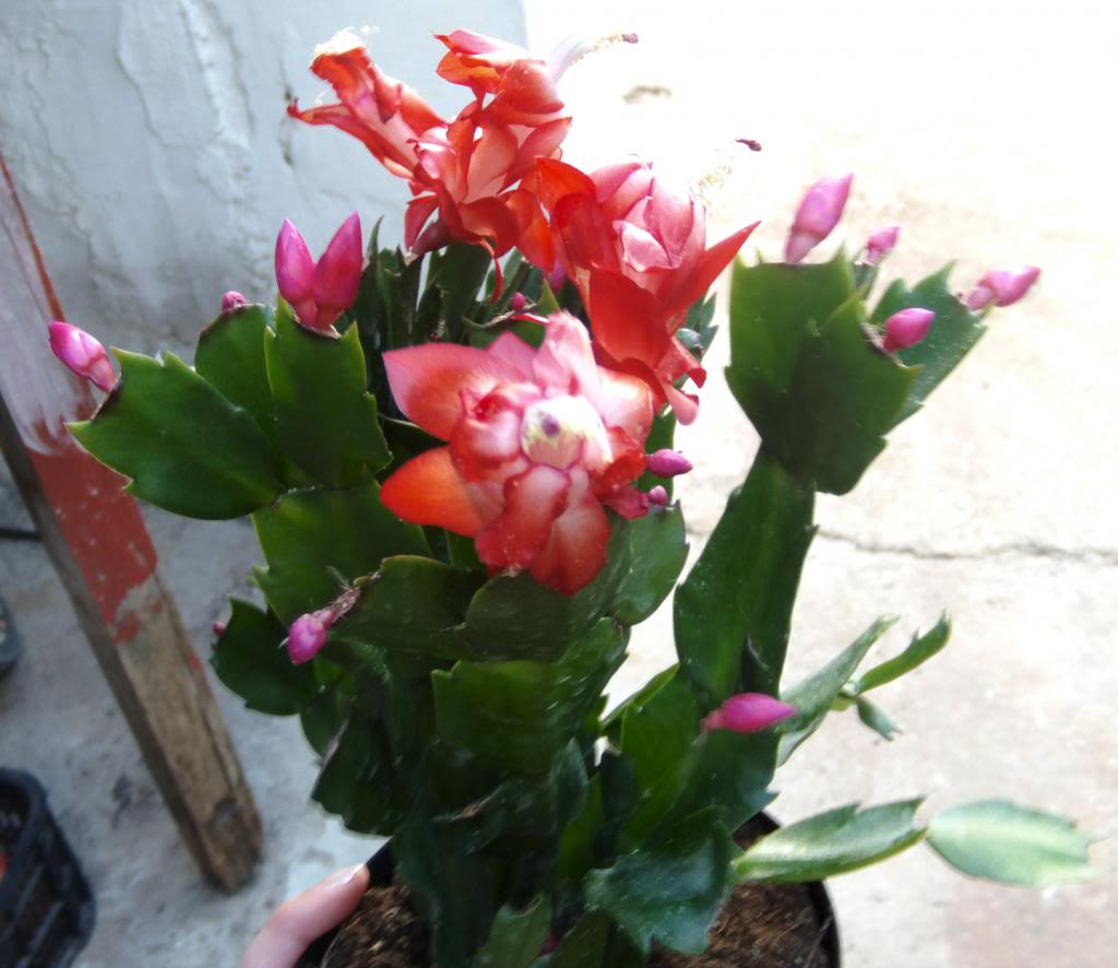 cactusnavidadflores2013_zps52f9bde7.jpg