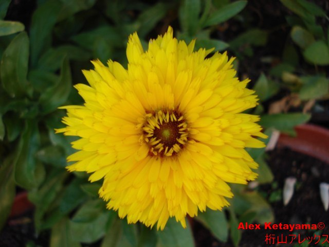 Calendula%20officinalis.jpg