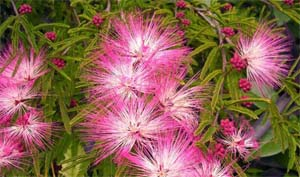 Calliandra_selloi_4.jpg