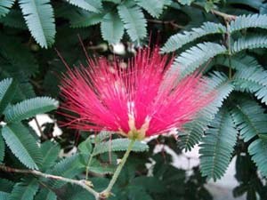 Calliandra_tweedii.jpg
