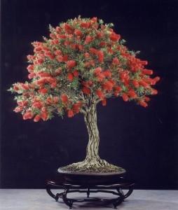 callistemon-bonsai.jpg