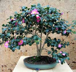 camellia-japonica-bonsai.jpg