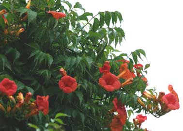 campsis-grandiflora.jpg