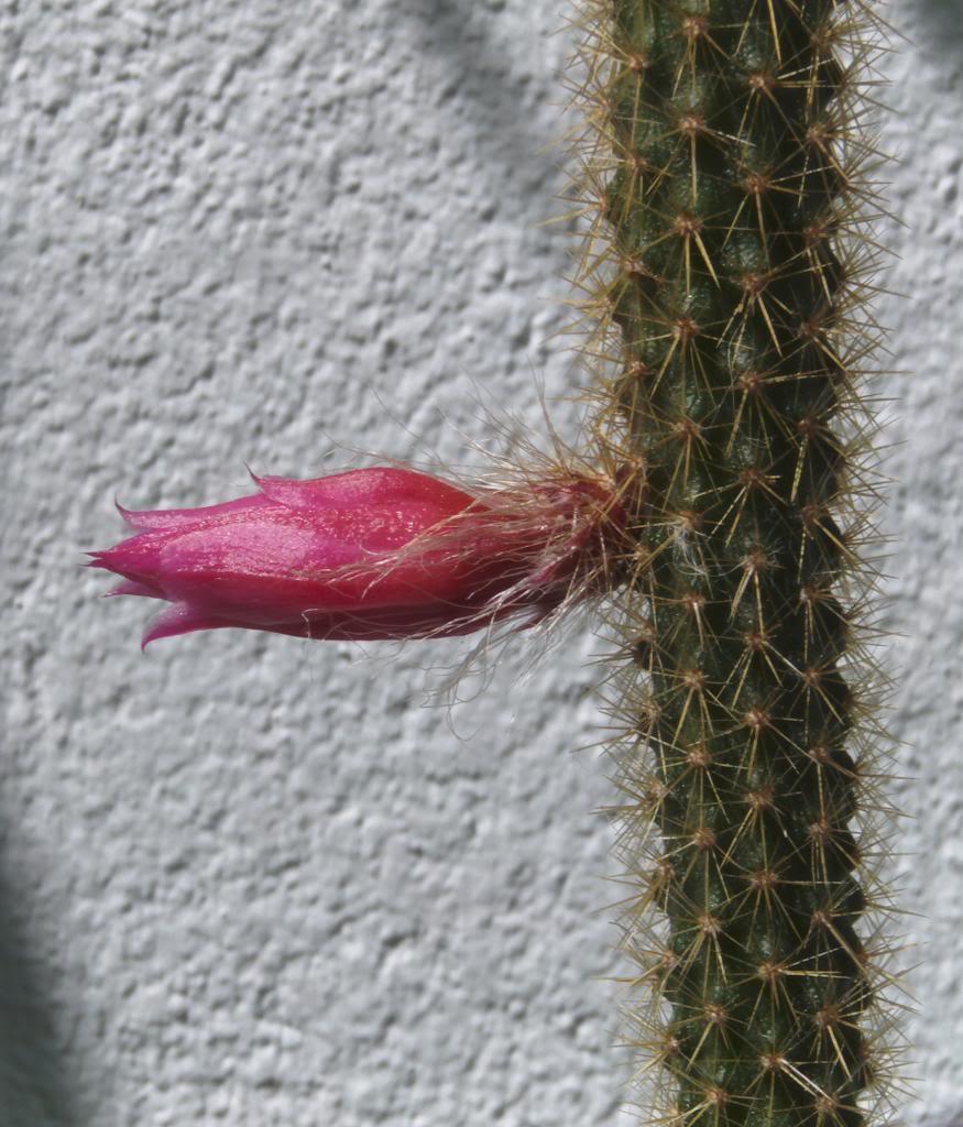 capulloaporocactuscerrado_zps3b2da7ac.jpg