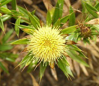 carlina_salicifolia3.jpg