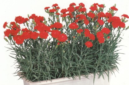Carnation%20Can%20Can%20Scarlet%20Image%20wp.jpg