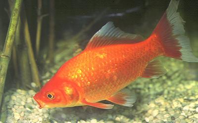 Peces naranjas de feria c mo cuidar for Los mejores peces de agua fria