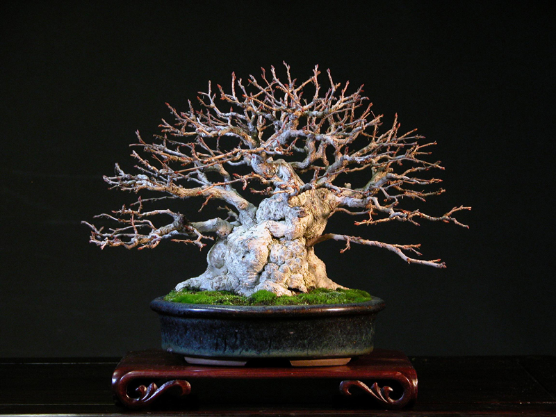 carpinus_turczaninovi_shohin_18_antique_chinese_.JPG