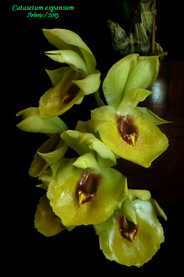 catasetum_expansum_zps0f2eb534.jpg