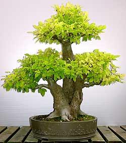 celtis-australis-bonsai-2.jpg