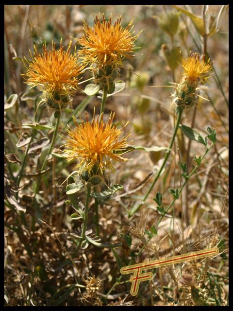 Centaurea%20collina%2001.jpg