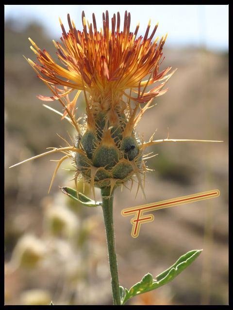 Centaurea%20collina%2002.jpg
