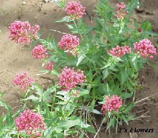 Plantas para sustituir los geranios que den muchas flores - Plantas que aguanten el sol ...