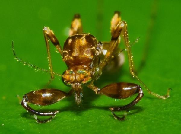 ceratopogonidae-front-amazonas-jun2011_t2.jpg