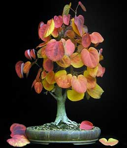 cercidiphyllum-japonicum-bo.jpg
