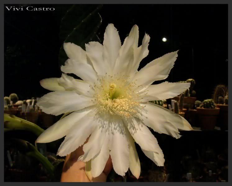 Cereushankeanusforbesiifmaespiralada35.jpg